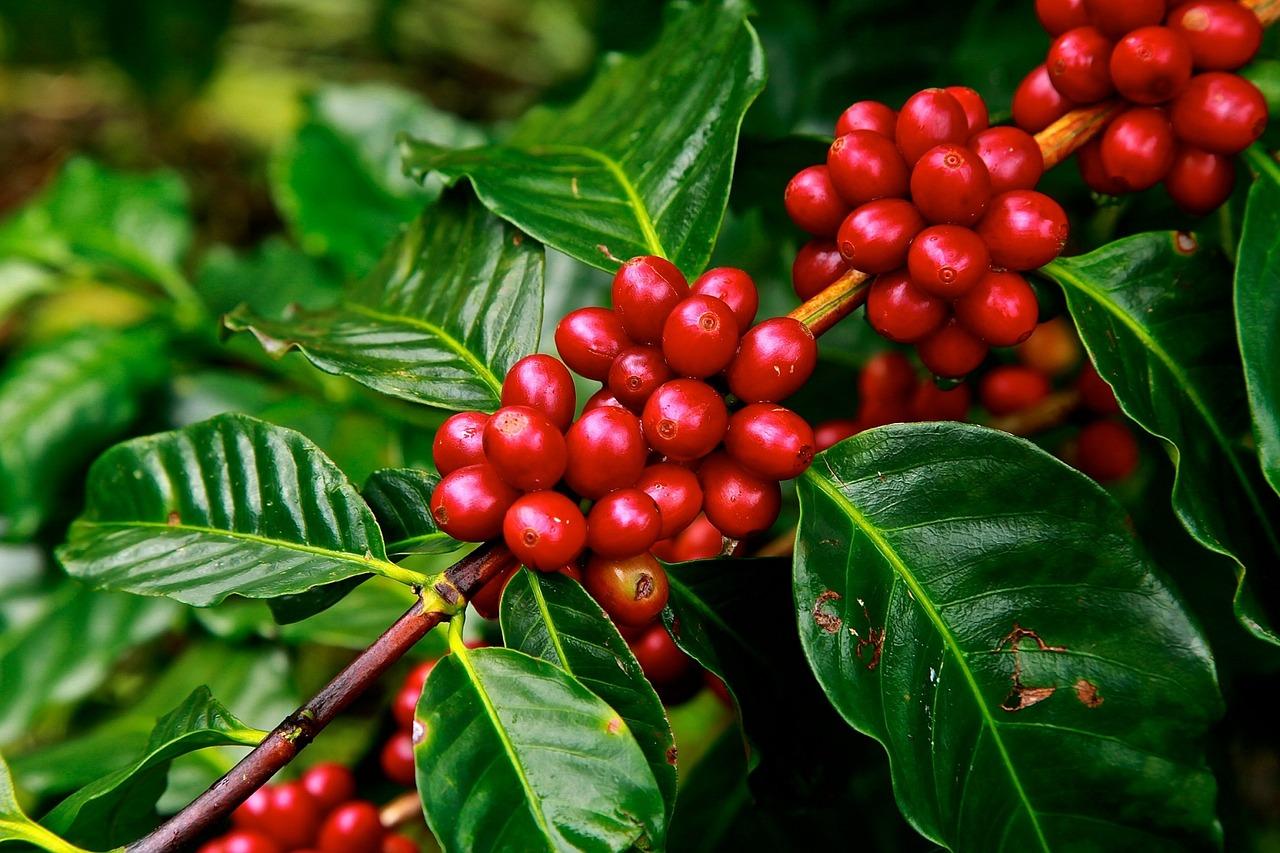 weltladen online shop kaffeeanbau